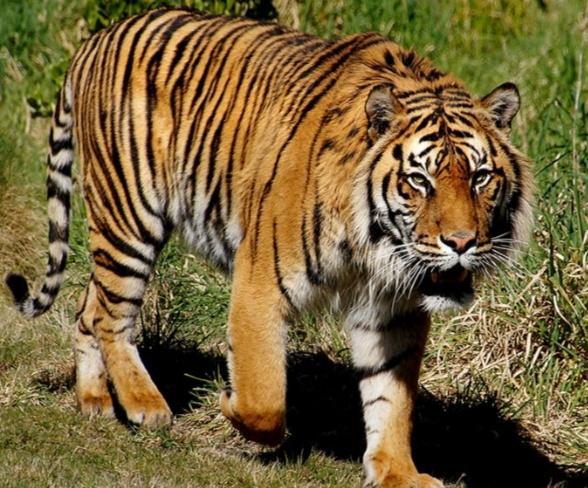 Warga Pelalawan Diterkam Harimau Saat Mencari Kayu