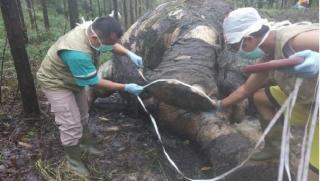Kepala Gajah Sengaja Dipenggal, Pemilik Konsesi Akan Diperiksa